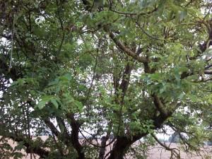 Chioma di albero verde