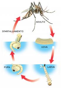 Ciclo vitale zanzara
