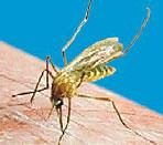 Culex Pipiens Molestus (Zanzara Comune)