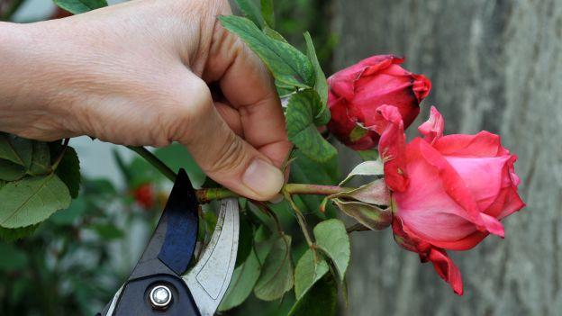 La potatura delle rose verde blu garden for Potatura delle rose