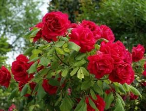 rose-potatura